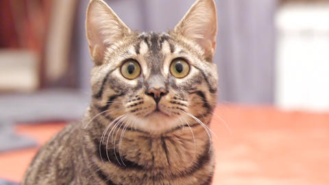 Tabby cat looks into the camera and moves his ears Footage
