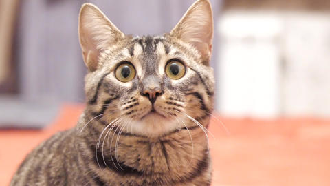 Tabby cat looks into the camera and moves his ears Stock Video Footage