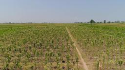 tobacco plantation in indonesia Footage