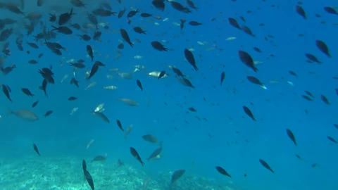 shoal swimming in search of food fish Footage