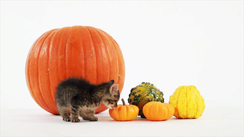 kittten and pumpkins Footage