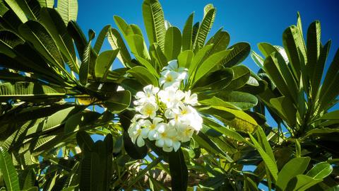Franjipani flowers Footage