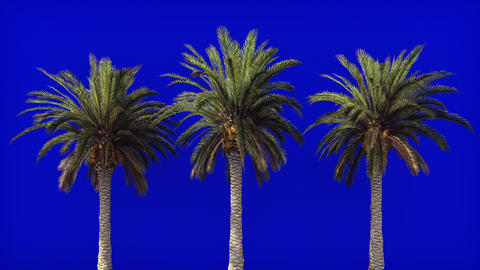 Palm trees in the wind on blue screen. Beautiful summer looped background Animation