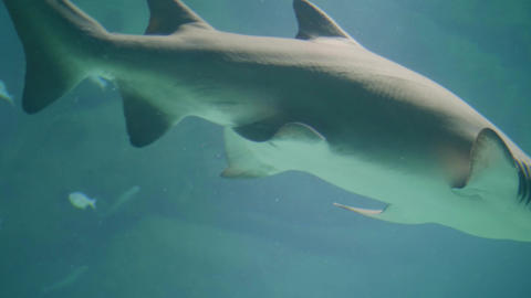 Shark swimming underwater in oceanarium. Underwater sea life and wild animal Live Action