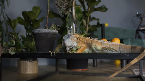 An iguana of green color crawls on the table and looks at the camera. Reptile in Live Action
