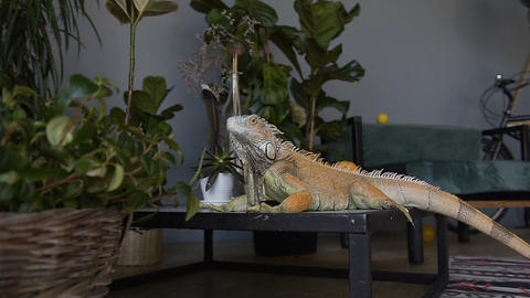 Portrait of a big iguana. Ride a camera on a lizard sitting on the background of Footage