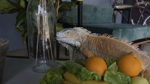 A beautiful green lizard sits on the table and eats the fruit lying on the plate Footage