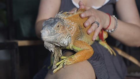 Close-up. aptive reptile - Australian Bearded dragon pet lizard warming up lying Live Action