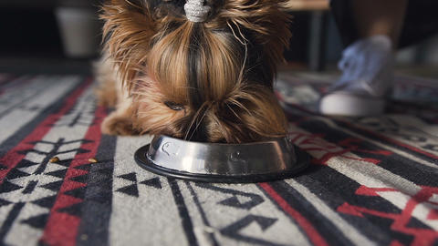 Close-up Specialized dog food is poured into a silver platter. A small dog is a Footage