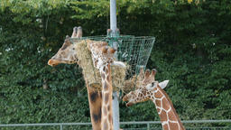 Three giraffes are eating hay. Giraffa camelopardalis rothschildi Live Action
