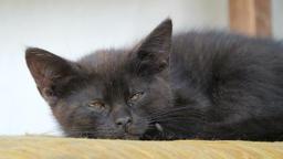Little black kitten is resting Live Action
