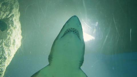 Shark swimming underwater in tunnel oceanarium. Wild animal and sea predator Live Action