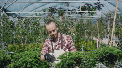 Large greenhouse with decorative plants and flowers. Gardener with a beard in a Footage