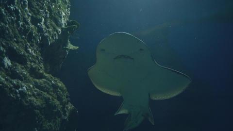 Stingray and fish swimming in undersea world in oceanarium. Watching oceanarium Footage