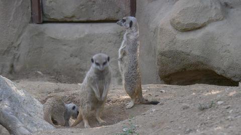 Meerkat Standing Digging Footage