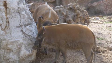 Bushpig Snout Mud Footage