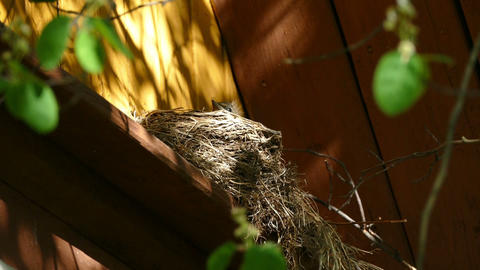 Nest with chicks blackbird on a country house Footage