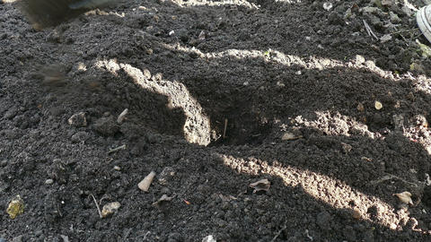 Planting potatoes in the ground Footage