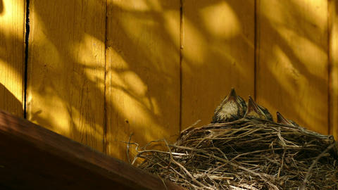 The nest with chicks on a country house Footage