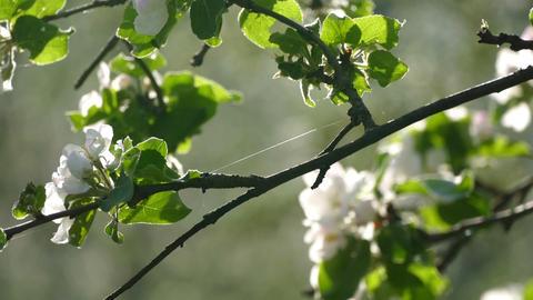 Spring flowering apple tree Footage