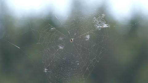 Spider and spider web between the pines Footage