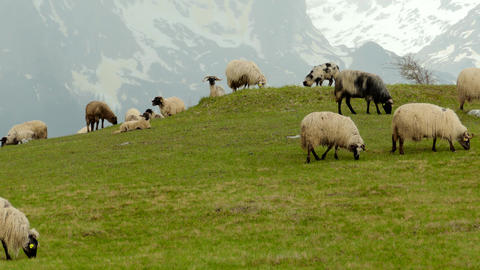Sheep graze and eat grass in the mountains, in Montenegro Footage