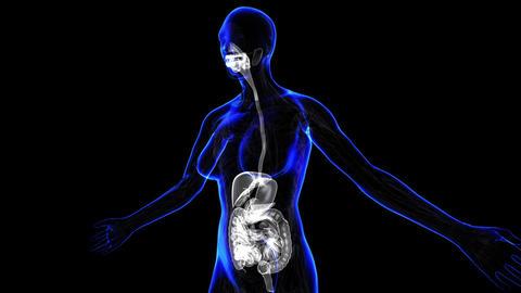 Female Digestive System Animation