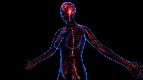 Female Nervous system Animation