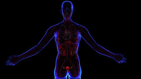 Female Urinary system, Stock Animation