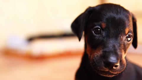 Close-up of the puppy's muzzle. A little dog looking at the camera Live Action