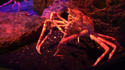 Huge Japanese Spider crab seated on stones under water Live Action