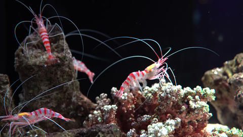 Striped glass shrimp on tropical corals in underwater world Footage
