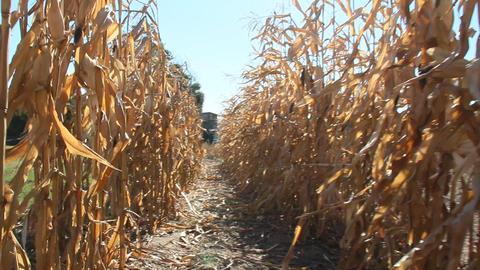 Passing between rows of corn inspecting plantation. Ripe corn on field 영상물