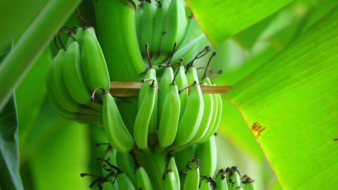 Banana Cluster Hanging From Tree Closeup Shot Panning Footage