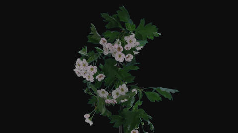 Time-lapse of blooming white hawthorn branch, 4K with ALPHA channel Live Action
