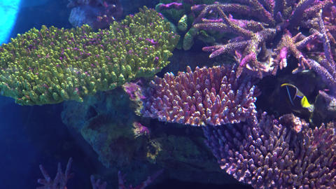 Exotic fish Angelfish float between colorful tropical corals Footage