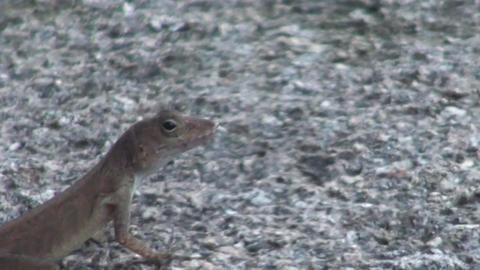 Gecko Lizard Moving Live Action