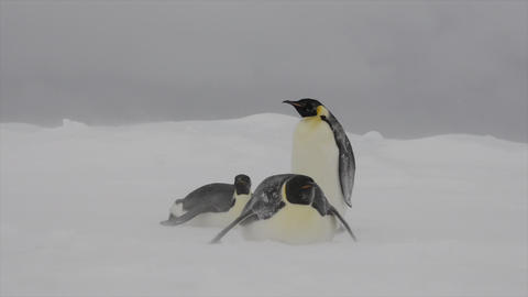 Emperor Penguins on ice in snow strom Live Action