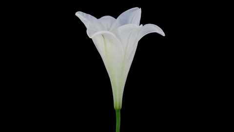 Growing, opening and rotating white Easter lily, 4K with ALPHA channel Footage