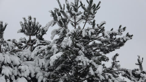 Winter tree covered with snow. Tree branch covered with snow GIF