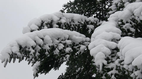 Winter tree covered with snow. Tree branch covered with snow Live Action