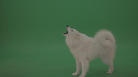 Adorable White Samoyed Dog Green Screen Stock Footage