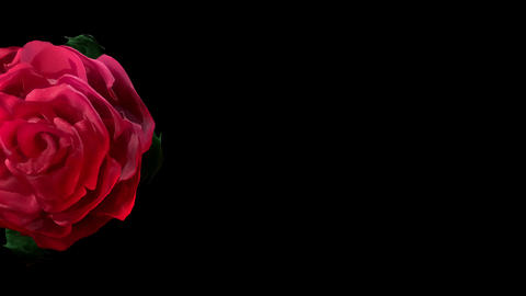 Slow Opening of Valentine Red Rose Flower Placeholder... Stock Video Footage