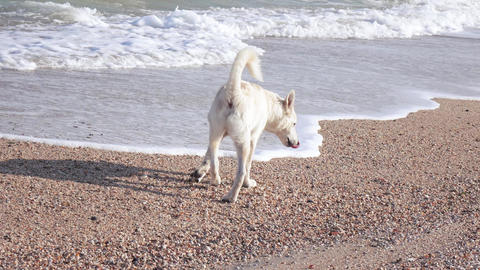 On beach dog defecates Live Action