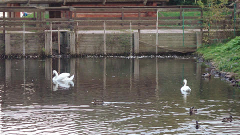 Ducks and swans in the pond Footage