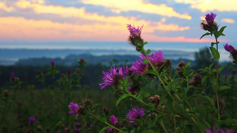 Morning breeze swaying blooming thistle early in the morning GIF