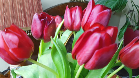 Red tulips 2 Footage