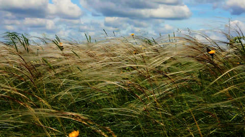 feather grass with yellow meadow flowers and blue sky with cumulus clouds GIF