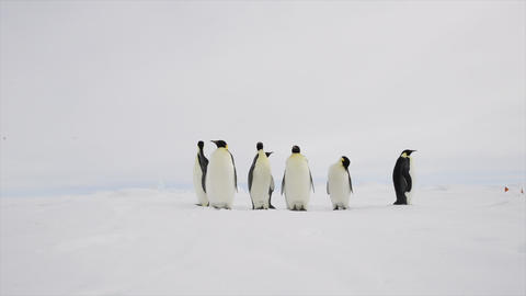 Emperor Penguins on the snow n Antarctica Live Action