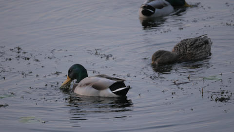 Birds and animals in wildlife. Amazing mallard duck swims in lake or river with Footage